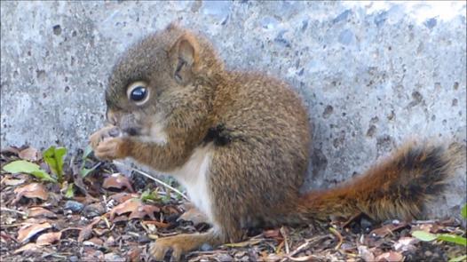 bébé écureuil roux