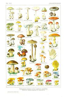 categorie champignon