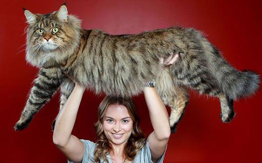 chat gros comme un chien