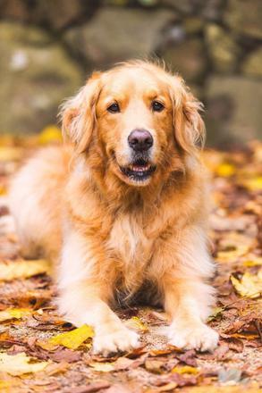 chien beige
