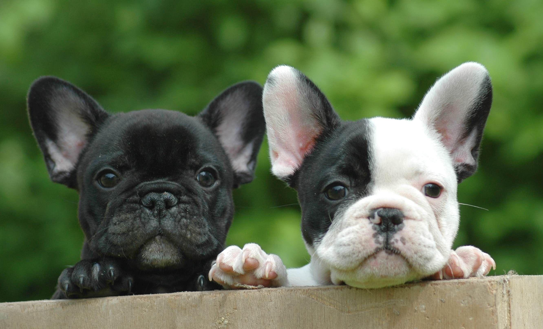 mini bulldog francais