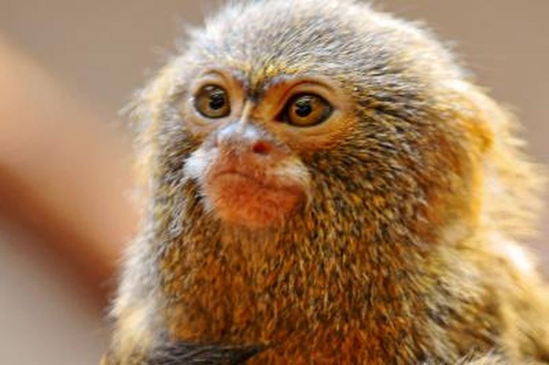 singe petit